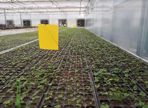 温室培育瓜蒌苗